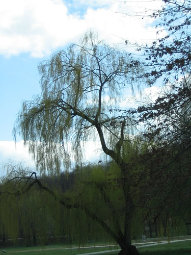 Willow in Stromovka