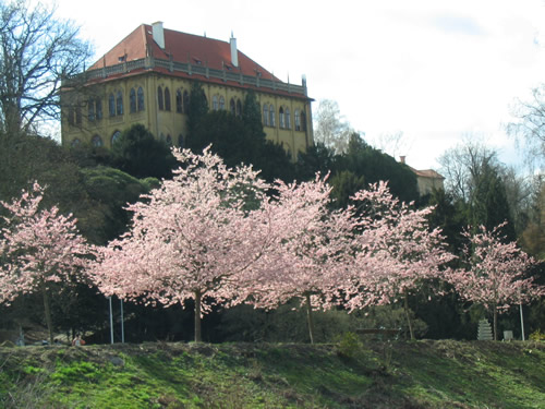 Cherry blossoms in Stromovka